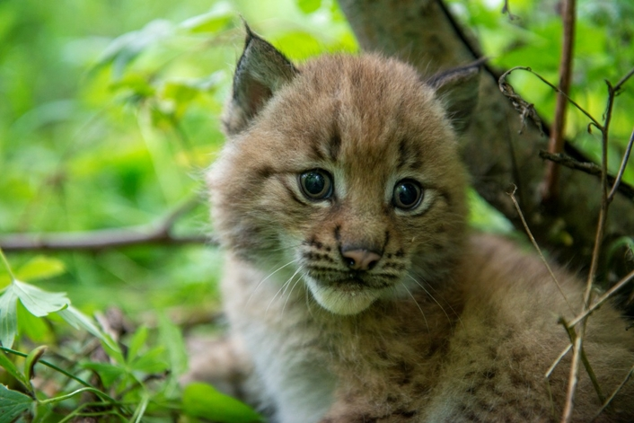 Presenting an intimate natural portrait   Screening for the first time by BBC2 over Christmas 2019, Snow Cats & Me tracks some of the world's most elusive and beautiful cats as they're rewilded after a life in captivity. To make it possible, the series' p